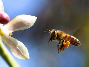 bee 300x225 Как пчелы делают мед?