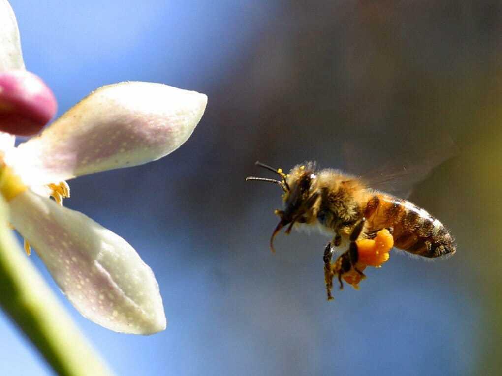 Как пчелы делают мед: из чего он получается и как собирают?