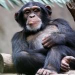 Почему обезьяны не превращаются в людей?