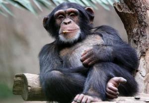 chimpanzee 300x207 Почему обезьяны не превращаются в людей?