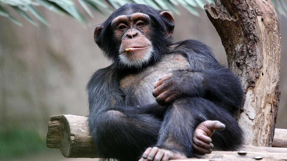 Почему обезьяны не превращаются в людей? Описание, иллюстрации, видео