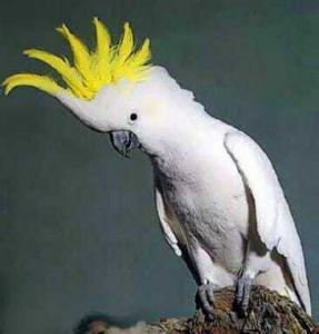cockatoo 287x300 Как попугаи учатся говорить и понимают ли они слова?