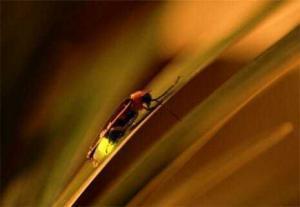 firefly vp 300x207 Почему светлячки светятся?