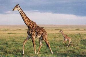 giraffe 300x198 Почему у жирафа длинная шея?
