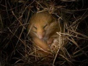 hibernation 300x224 Почему животные впадают в спячку, в чем смысл спячки?