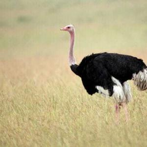 ostrich 300x300 Птицы не умеющие летать
