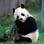 Панда это медведь?