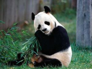 panda 300x224 Панда это медведь?