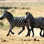 Почему зебра полосатая?