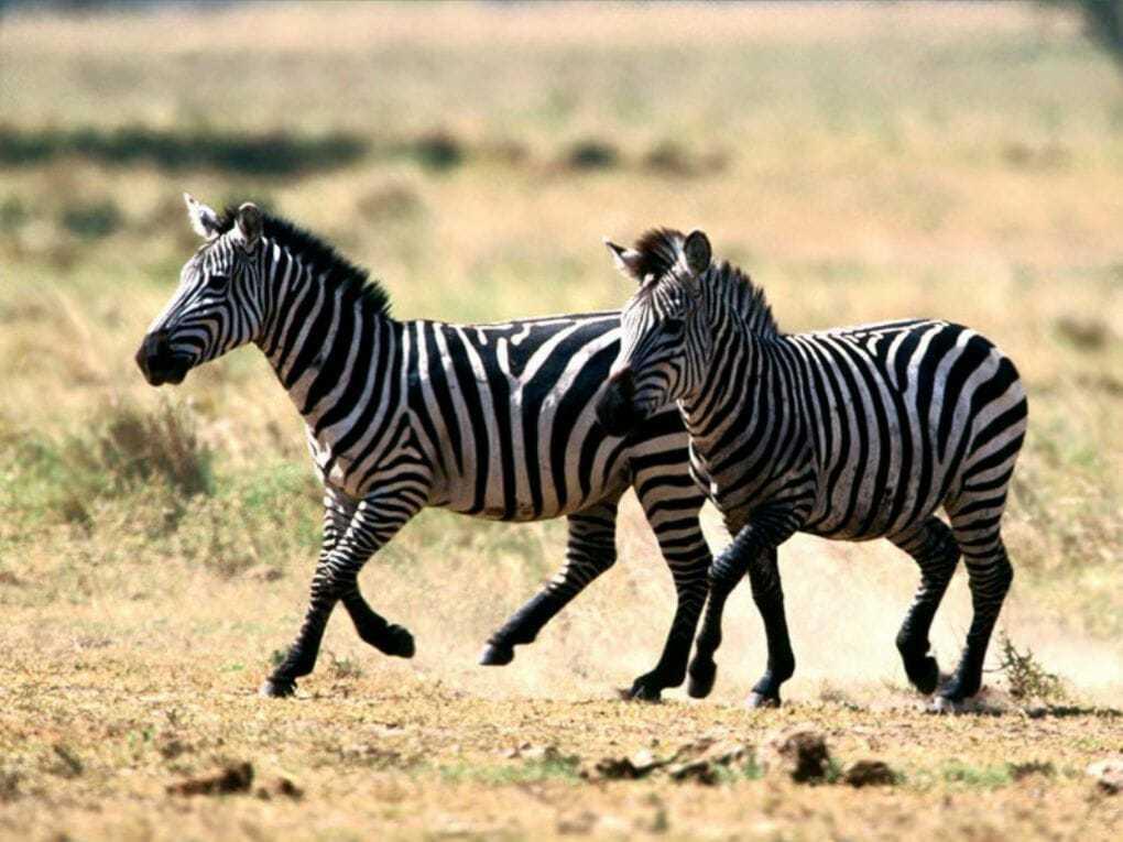 Почему зебра полосатая? Зачем зебре полоски? Виды зебр и полосок, описание, фото и видео
