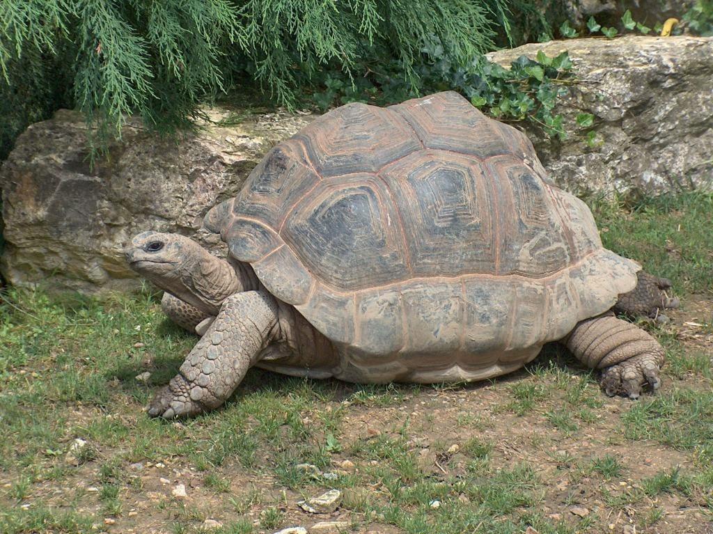 Слоновая или галапагосская черепаха