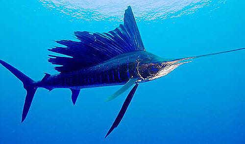 Рыба - парусник (Istiophorus platypterus)