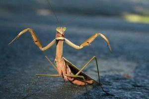 Богомол (Mantis sp)