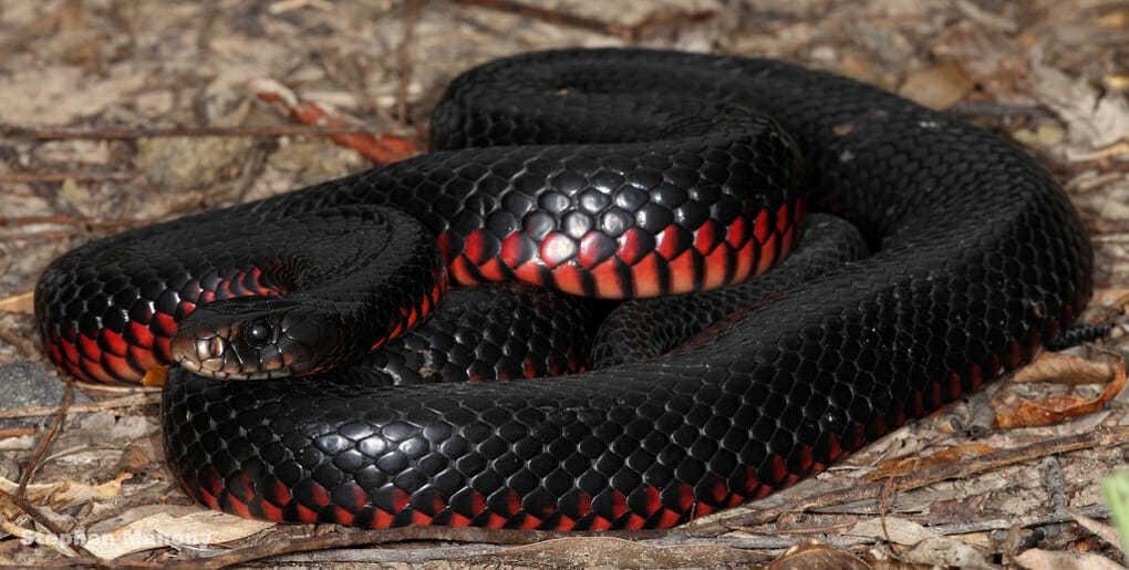 змея картинки черная