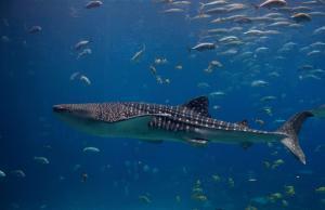 Китовая акула (Rhincodon typus)