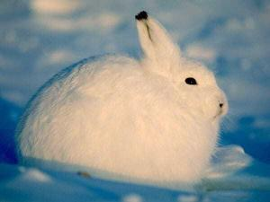Заяц - арктический беляк