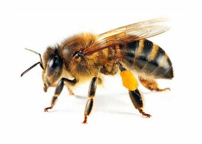 Медоносная пчела (рабочая) пчела