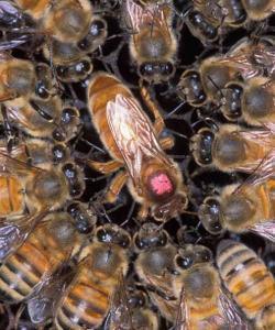 Пчелиная матка (королева пчел)