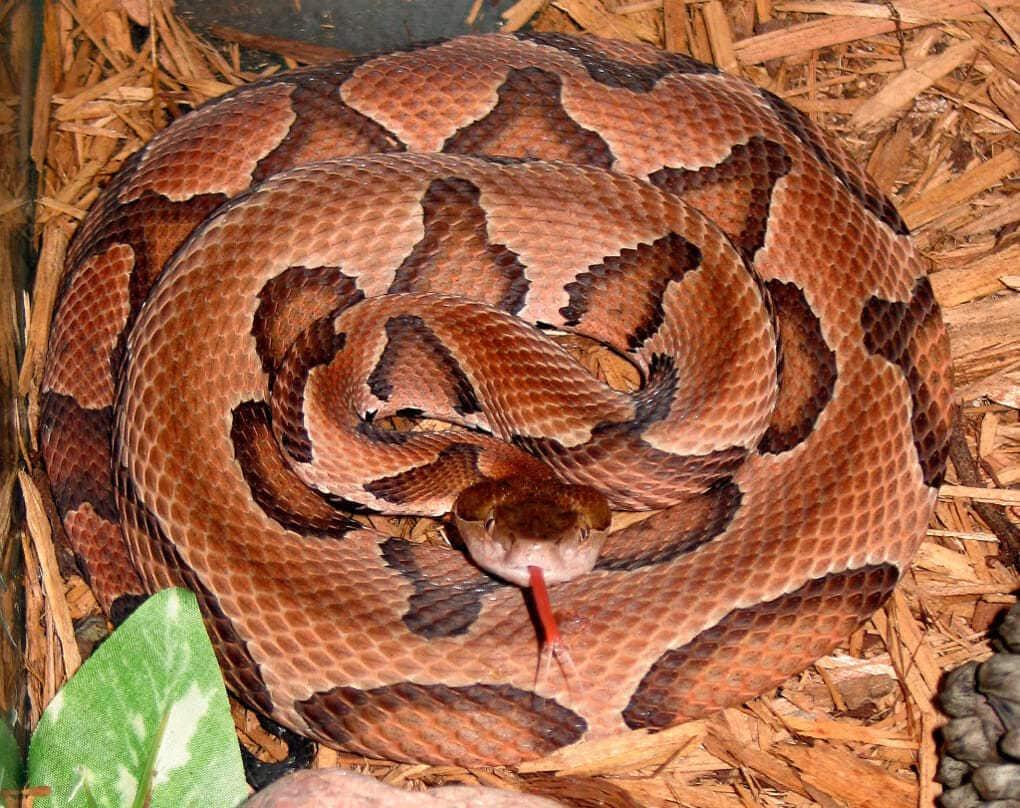 Австралийская медноголовая змея (щитомордник)