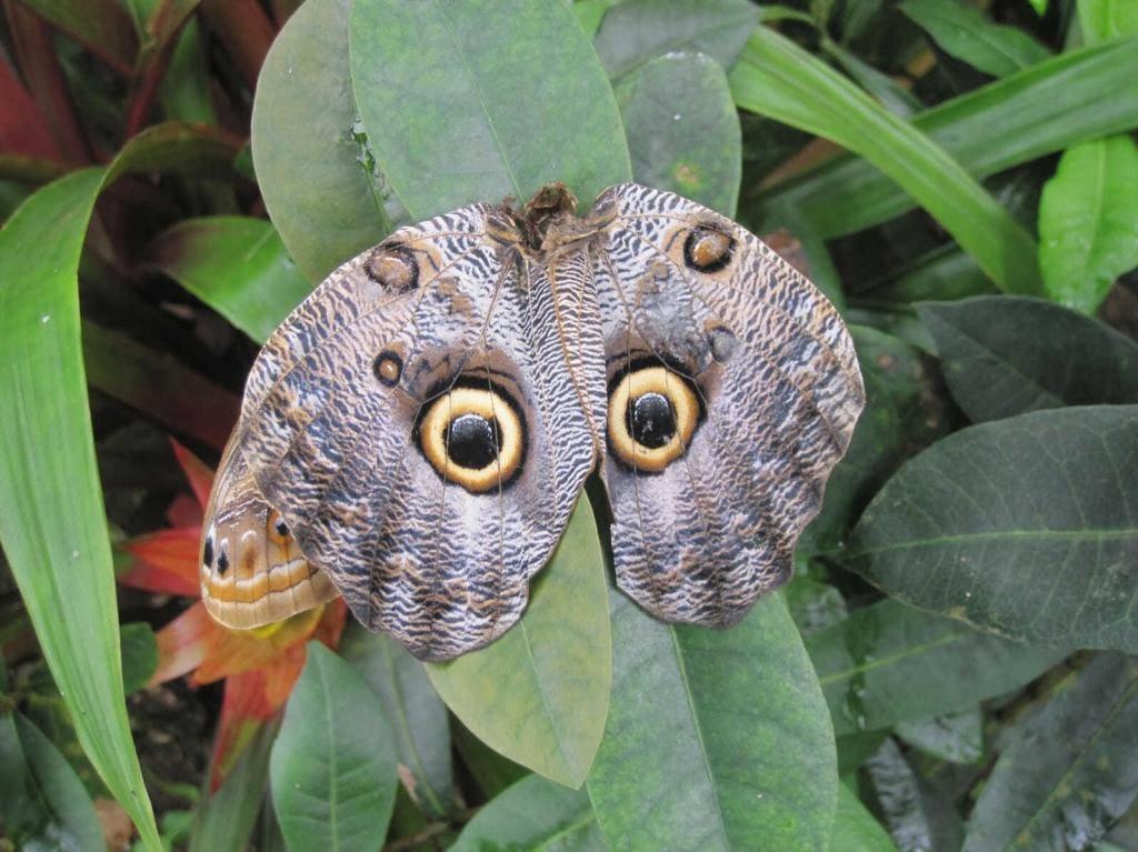 Бабочка «совиный глаз»