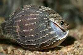 Змея - яйцеед