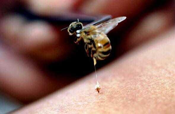 Жалящая пчела