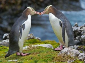 Пингвины великолепные