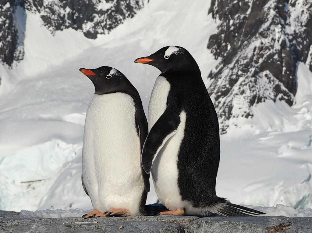 Субантарктические (Папуанские) пингвины