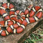 Поперечнополосатая королевская змея