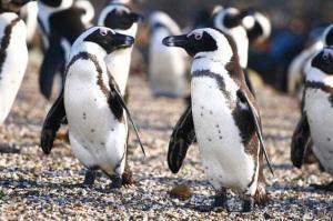 Пингвины очковые