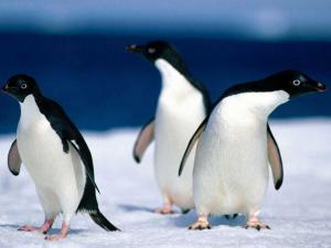 Пингвины Адели