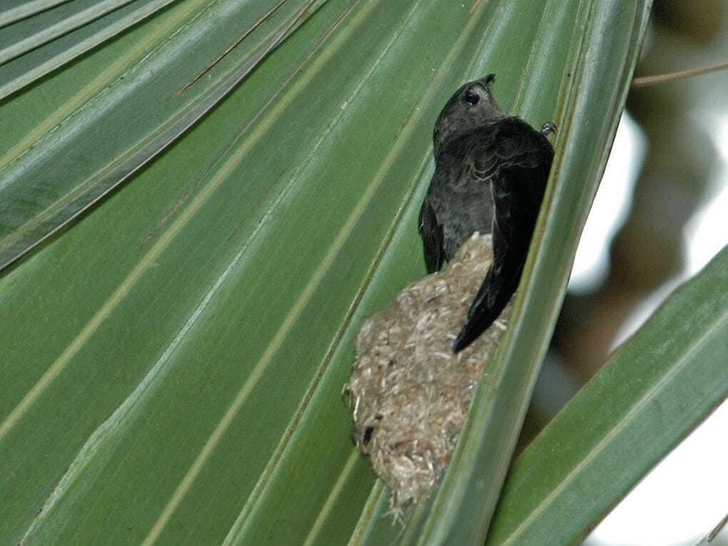 Гнездо пальмового стрижа