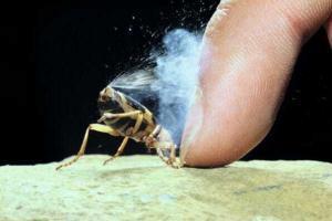 Оборона  жука-бомбардира
