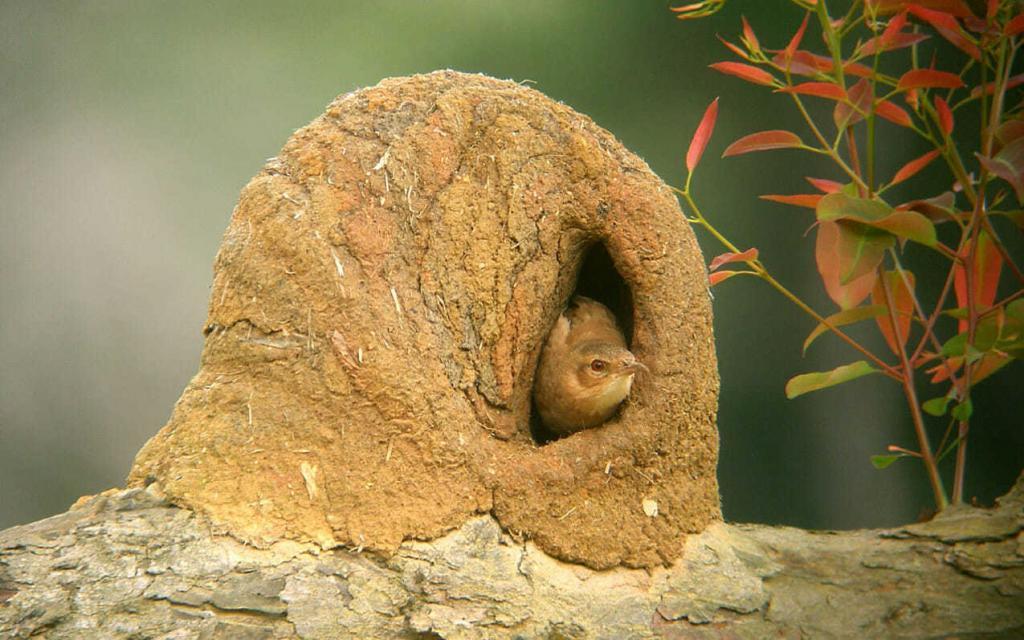 Гнездо птицы-печника
