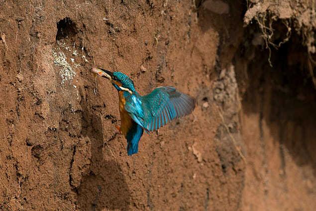 Нора обыкновенной зимородки