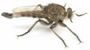 Ктырь (насекомое-хищник)
