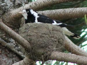 Гнездо сорочьего жаворонка