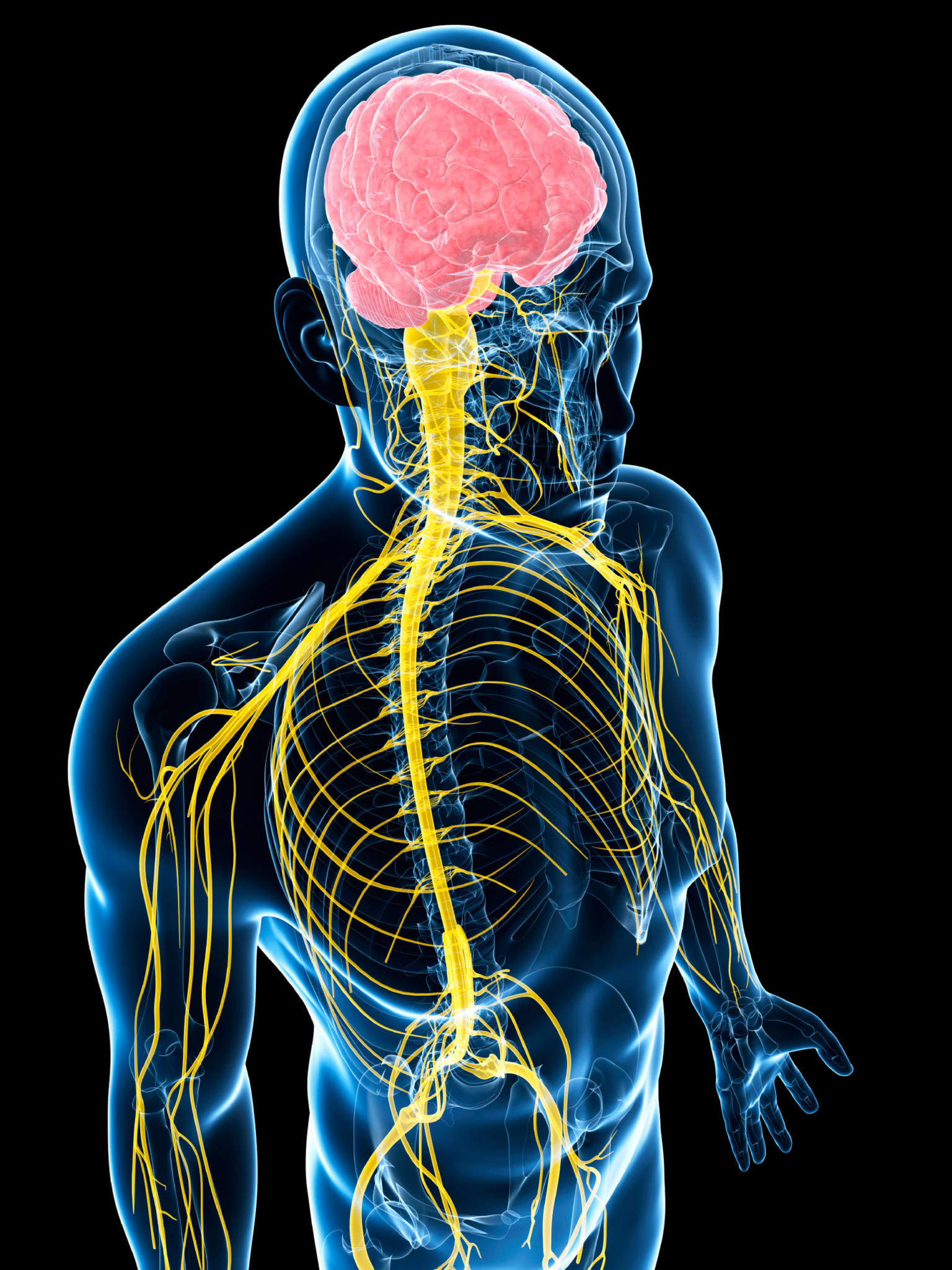 Как устроена нервная система - Простые ответы на сложные ... B12 Deficiency Spinal Cord