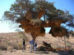 Гнездо общественных ткачей