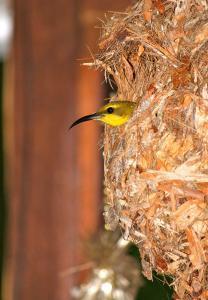 Гнездо тропической нектарницы