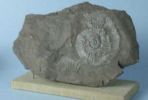 Отпечатки раковин моллюсков