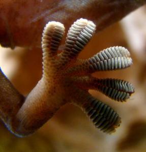 Лапа геккона
