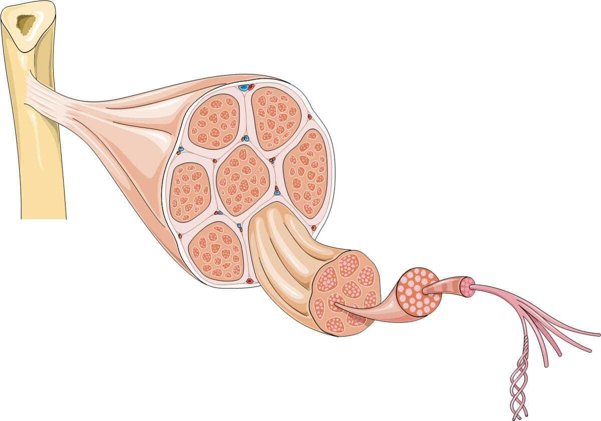 Мышцы, сухожилие, кость