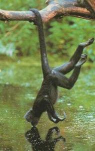 Цепкохвостовая обезьяна