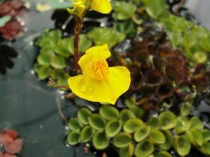 Пузырчатка (растение)