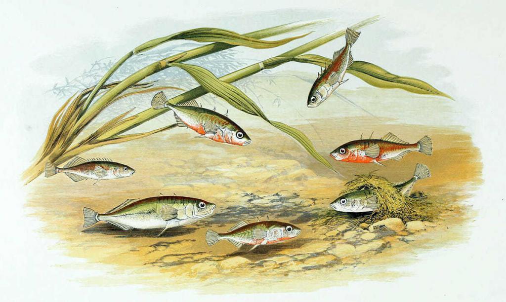 Гнездо самца трёхиглой колюшки