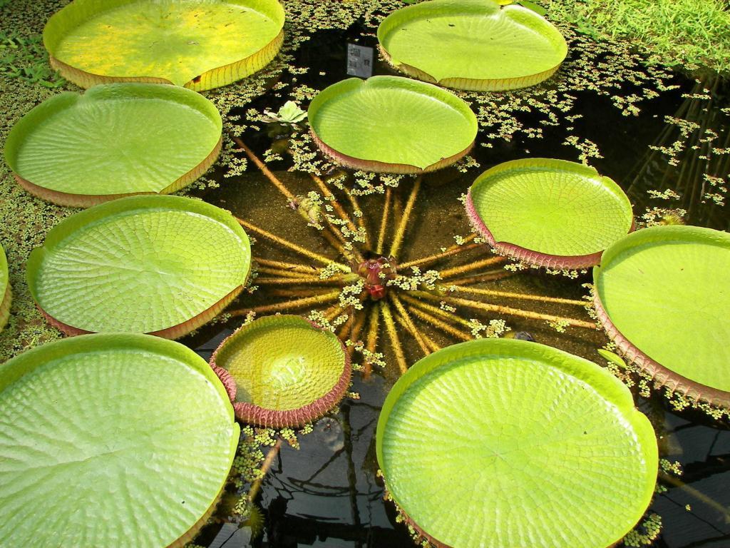 Листья водяной королевской виктории