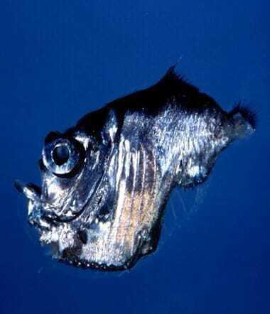 Рыба серебряный топорик