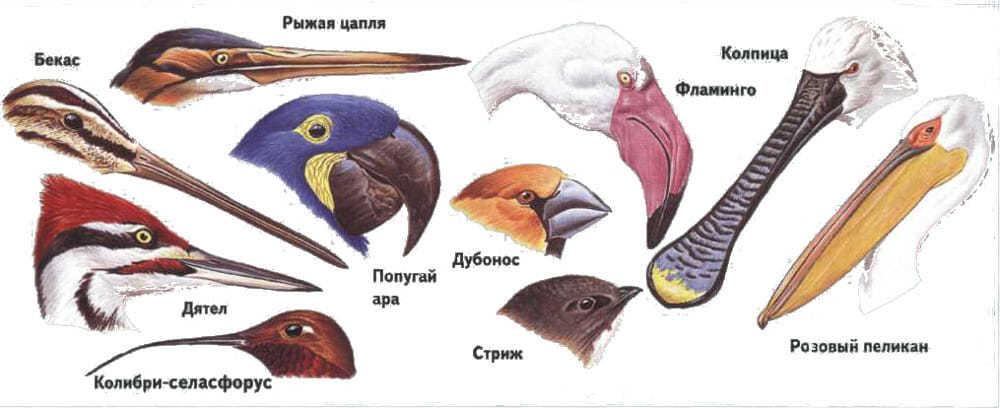 Клювы птиц