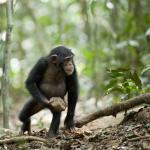Шимпанзе с орудием труда